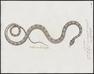 Coluber getulus - 1700-1880 - Print - Iconographia Zoologica - Special Collections University of Amsterdam - UBA01 IZ12100307.tif