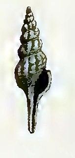 <i>Comitas wynyardensis</i> Extinct species of gastropod