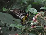 Common-Birdwing-or-troides-helena-from-Koovery.jpg