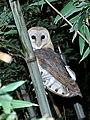 Common Barn-owl (Tyto alba) - Nonnetjie-uil.jpg