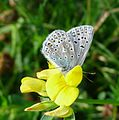 Common Blue - Flickr - gailhampshire (1).jpg