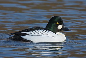 Common goldeneye - Adult male