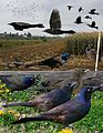 Common Grackle From The Crossley ID Guide Eastern Birds.jpg
