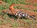 Common Hoopoe (Upapa epops) at Hodal Im IMG 9523.jpg
