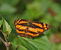 Common Jester at Samsing, Duars, West Bengal W IMG 6378.jpg
