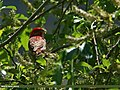 Common Rosefinch (Carpodacus erythrinus) (22653308418).jpg