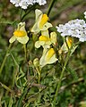 Common Toadflax (Linaria vulgaris) - Oslo, Norway.jpg