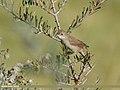 Common Whitethroat (Sylvia communis) (44395359820).jpg