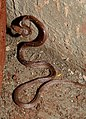 Common Wolf Snake Lycodon aulicus by Dr. Raju Kasambe DSCN7762 (19).jpg