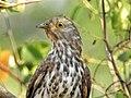 Common hawk cuckoo (Hierococcyx varius) 7.jpg