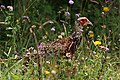 Common pheasant (Phasianus colchicus) immature male.jpg