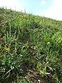 Conringia orientalis sl2.jpg
