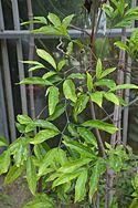 Conservatoire botanique national de Brest-Rothmannia annae-15 07 03 Triton-01 (20254654042).jpg