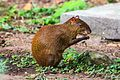 Copan birds and wildlife-hungry bush rat (Agouti) (6849857760).jpg