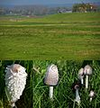 Coprinus comatus (GB= Shaggy Inkcap Syn. Lawyer's Wig, D= Schopftintling, Spargelpilz, F= Coprin chevelu, NL= Geschubde inktwam) in its natural habitat, meadows with a fertile soil^ Here along the IJsselriver near Weste - panoramio.jpg