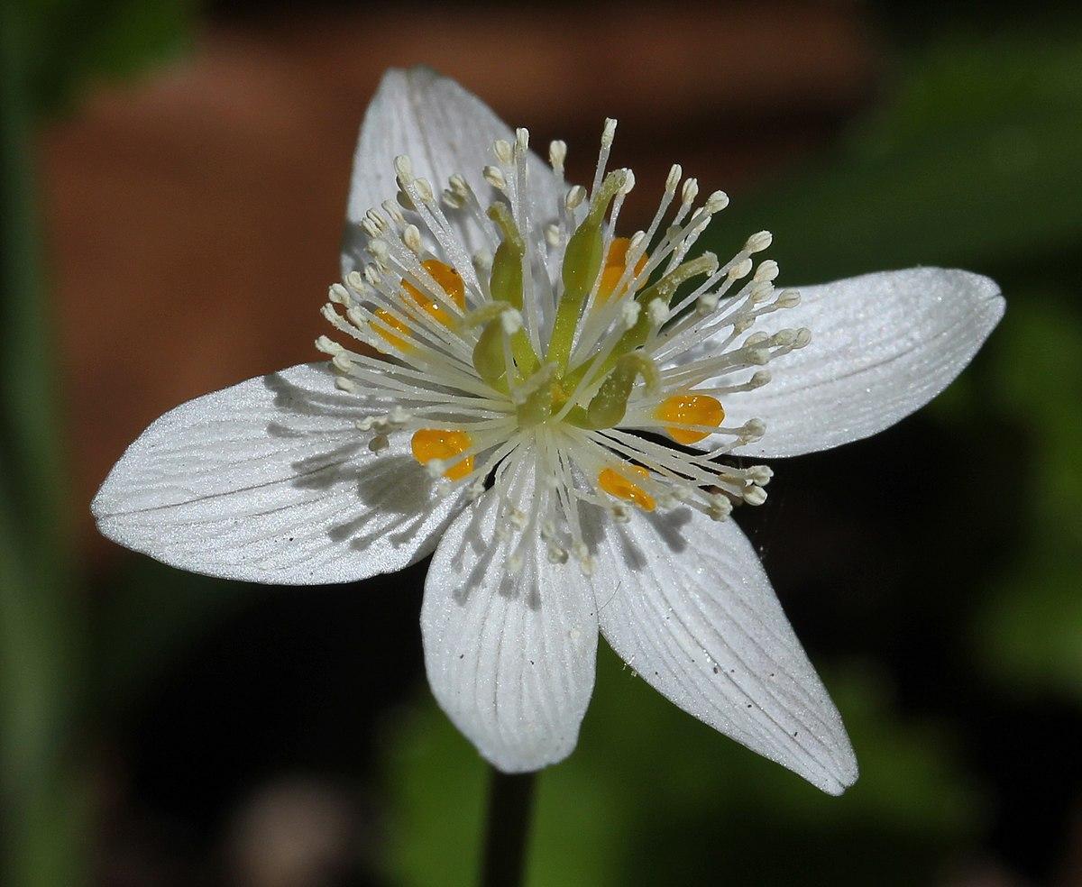 Coptis Trifolia  U2014 Wikip U00e9dia