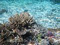 Coral reefs, Falealupo beach, Savai'i, Samoa (7) - August 2016.jpg