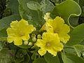 Cordia lutea flowers 150521.jpg