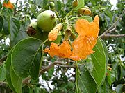 Cordia subcordata, seeds, flower, leaves