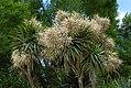 Cordyline australis. (cabbage tree) NZ (38259090331).jpg