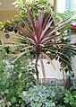 Cordyline australis 'Red Sensation' Plant 1900px.jpg