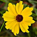 Coreopsis leavenworthii (Leavenworth's Tickseed) (12743506864)