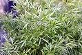 Coriandrum sativum Delfino 0zz.jpg
