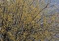 Cornus mas - Cornelian cherry tree 02.jpg
