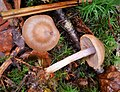 Cortinarius sp. - Flickr - gailhampshire (1).jpg