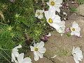Cosmos bipinnatus2.jpg