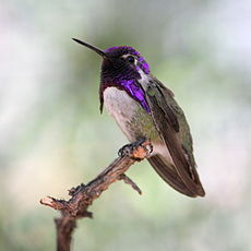 Costas-hummingbird.JPG