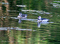 Cotton Pygmy Geese I IMG 4760.jpg