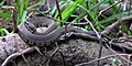 Cottonmouth (Agkistrodon piscivorus) photographed in Liberty Co., Texas. W. L. Farr.jpg