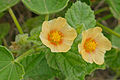 Country Mallow (Sida cordifolia) flowers (17365242416).jpg