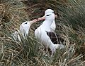 Courtship of Black-browed Albatrosses (5545911820).jpg