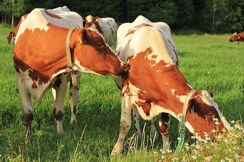 File:Cows by Kuninkaantie, Sipoo 4.JPG