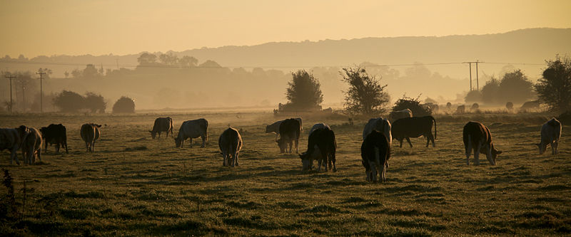 File:Cows grazing autumn morning, Somerset levels (2930581997).jpg