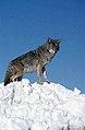 Coyote044 (26662431140).jpg