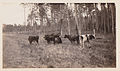 Cracker cows on Newberry Road outside Gainesville, Florida, 1929-1930.jpg