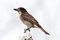 Cracticus torquatus -Braeside Park, Melbourne, Victoria, Australia -juvenile-8.jpg