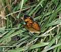 Crappy shot of Pearl Crescent - Flickr - S. Rae.jpg