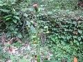 Crassocephalum crepidioides 01.jpg