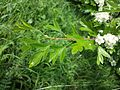 Crataegus monogyna subsp. monogyna sl10.jpg