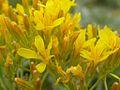 Crepis acuminata (3433083172).jpg