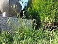 Crepis capillaris sl5.jpg