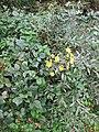Crepis pulchra Bosilegrad 2.JPG