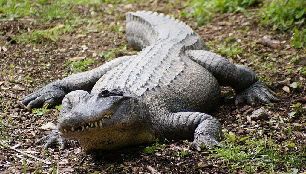 File:Crocodile at Auckland Zoo - Flickr - 111 Emergency.jpg ...