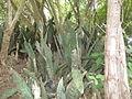 Crowded Sansevieria (5624406204).jpg