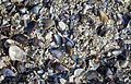 Crushed mytilidae, barnacles and limpets making up the ground at an old fishing site.jpg