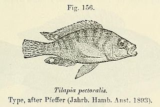 <i>Ctenochromis pectoralis</i> species of fish